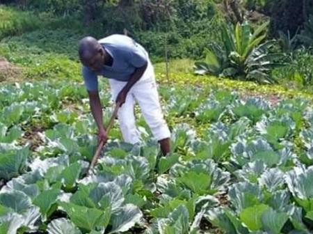 DP Ruto Denies Alleged Photos of him Working in a Cabbage Farm at Sugoi