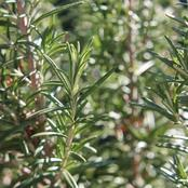 Did You Know That Rosemary Plant is a Mosquito and Bedbug Repellant? See More of Its Benefits