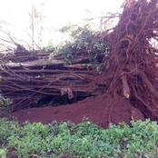 Panic as a Very Old Mugumo Tree Falls, at Gatundu in Kiambu County