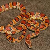 Animal Farming 101: Is a corn snake a good pet?