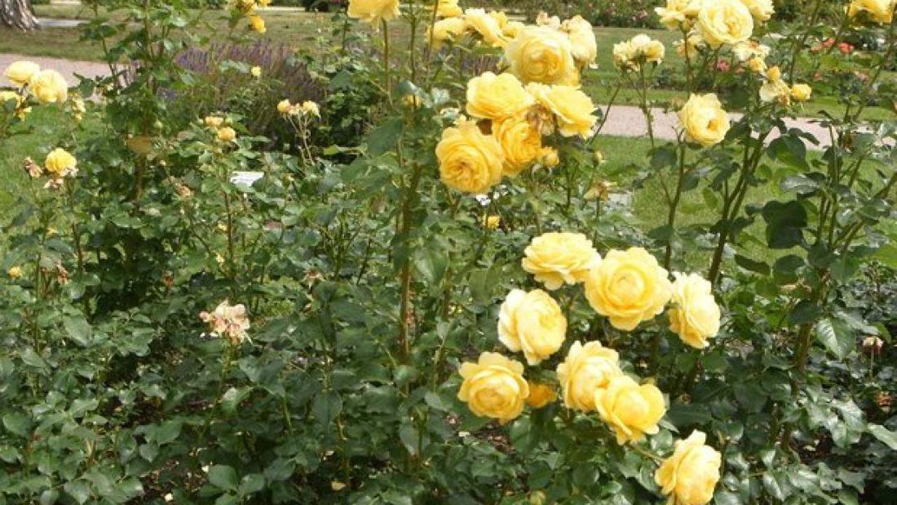 Uetersens Grüne setzen sich weiter für pestizidfreies Rosarium ein