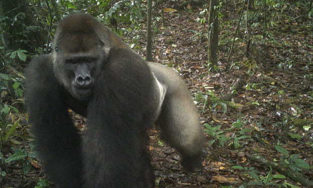 c0248925f9fc66574aa1b8bfe564b53e?quality=uhq&resize=720 - First Footage Of The World's Rarest Species Of Gorillas With Infants In Nigeria