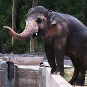 After more than 10 Years of Loneliness this Elephant Finally Found a New Home