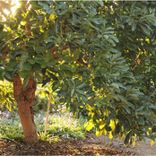 Ways To Care For Your Avocado Tree In Your Garden