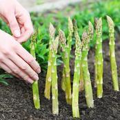How to Plant & Grow Asparagus