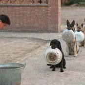 Hilarious! Police Dogs Wait Patiently In An Orderly Que With Plates On Their Mouth To Be Served Food