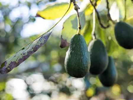 Here are the areas in USA that you can grow your avocado tree