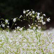 Garden Tips To Plant Baby's Breath Flowers