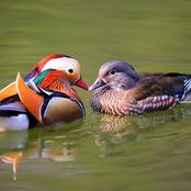 Animal Farming 101: Will mandarin ducks fly away?