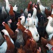 Yopougon : escroquerie sur 459 poulets