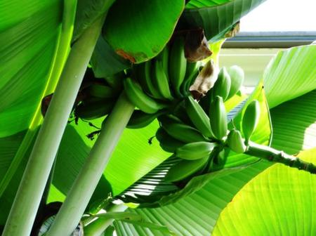 Read Benefits Of Banana Leaves That Are Rarely Known To People