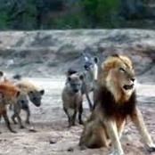 Can 10 Hyenas Kill A Lion?