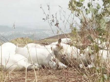 TODAY'S HEADLINES: 50 Cows Dies Mysteriously in Ondo State, Recruit 50million Youths to Army- Tinubu