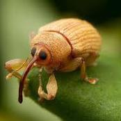 Can you control the acorn weevil?
