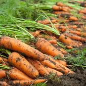 Ways To Harvest Carrots From Your Garden