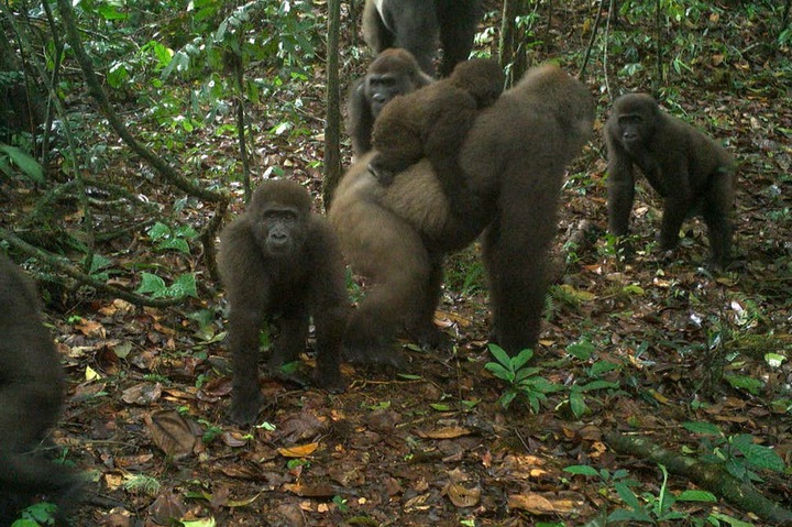 c7c867475e6ed0393cbd182410907a1e?quality=uhq&resize=720 - First Footage Of The World's Rarest Species Of Gorillas With Infants In Nigeria