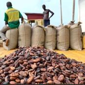 Cacaoculture : Les plateformes syndicales de producteurs de cacao brandissent la menace d'une grève