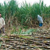Why Collapsing Of Sugarcane Factories Deny People Of Western Kenya A Chance To Be Millionaires