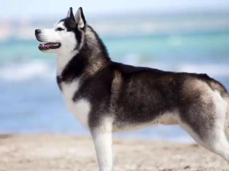 See Pictures of Husky, One of the Most Beautiful Dog in the World