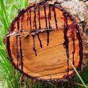شجرة عند قطعها تزرف الدماء وتقلل من الاكتئاب ومفيدة للبشرة وتعالج الكحة والسعال فما هي؟