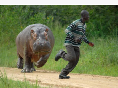 Why is hippo most dangerous to human