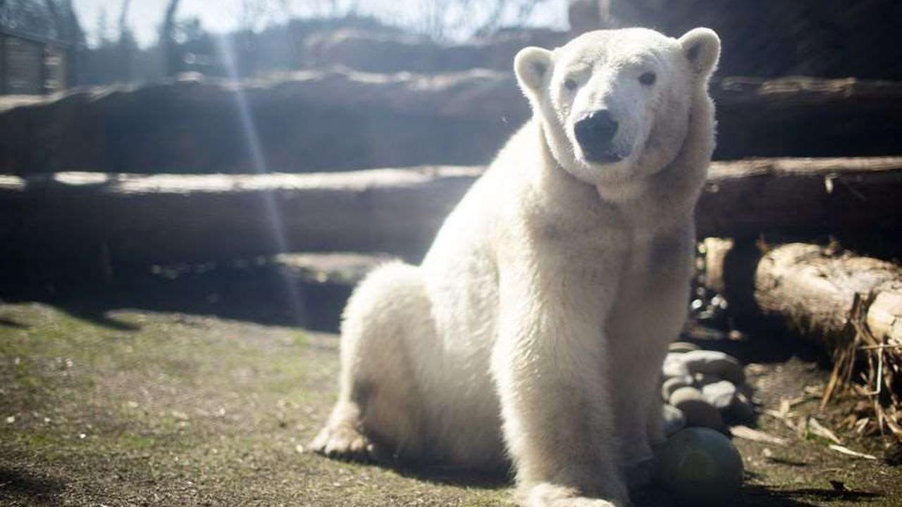 A changed Nora returns to a dramatically different polar bear home at the Oregon Zoo