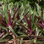 Plant Guide on How You Can Harvest Salsify In Your Garden Effectively