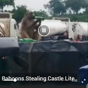 SE£ | Baboons caught stealing and drinking castle lite beer and collapses (drunk)