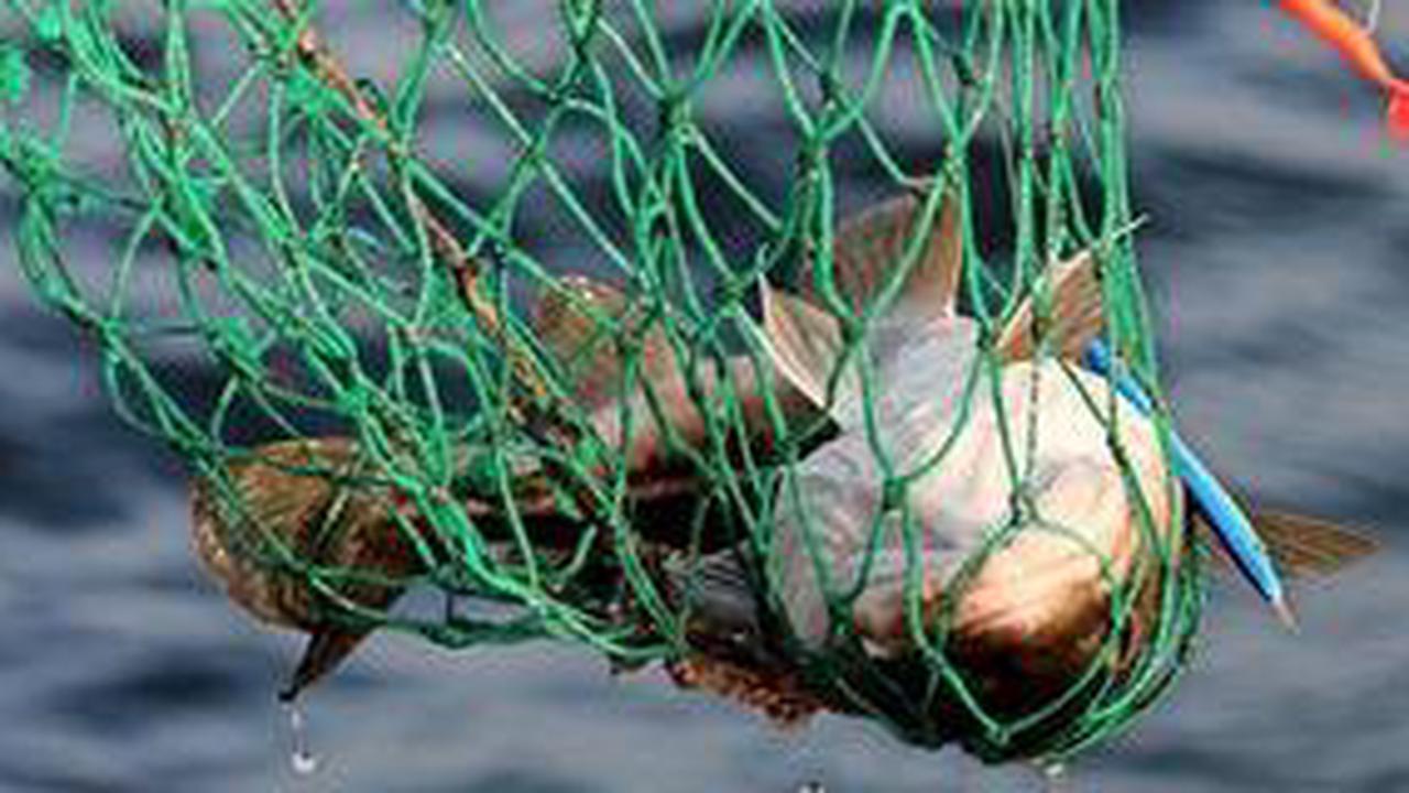 Anglerverbände im LandkreisRostock fordern Schonzeit für Dorsch