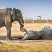 Why Elephants Grieve Their Dead Just Like Humans
