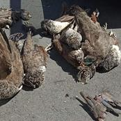 NEWS | Carcasses of birds pile up in Durbanville - possibly poisoned
