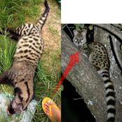 They mistook this animal for a Hyena and killed it; see the real name of the animal and some photos