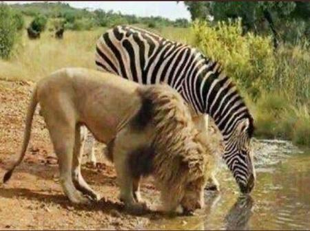 Resurfacing photos of a Lion and Zebra drinking water together causes reactions online.