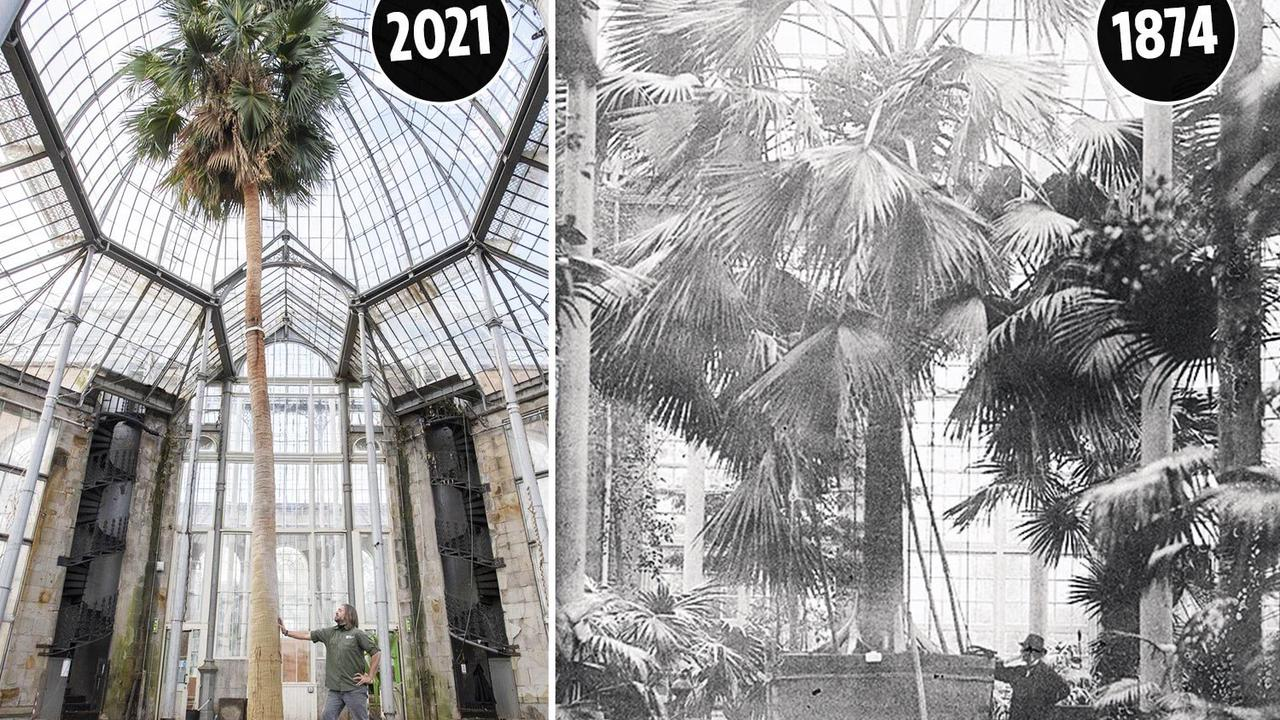 60ft palm to be felled after 200 years for fears it could smash glasshouse roof