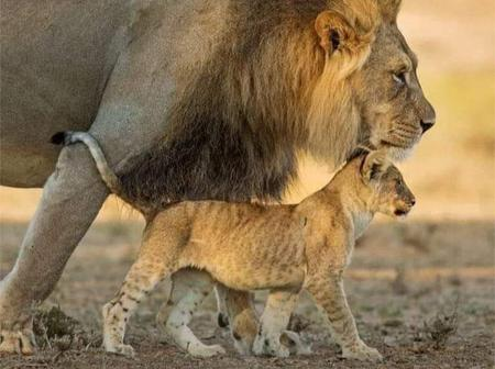 Wildlife: Amazing Facts About (Father And Son) Lions That You Don't Know