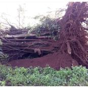 Contrary Opinions On Cultural Beliefs After Fall Of Mugumo Tree In Kiambu County