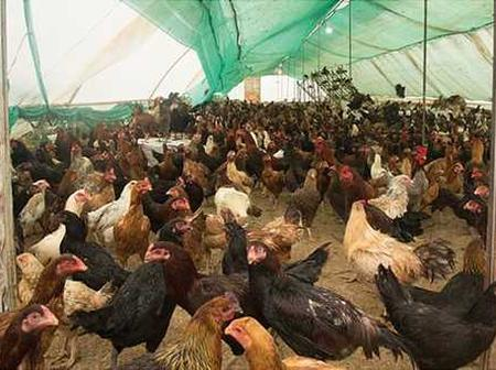 What to do during a major chicken disease outbreak.