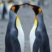Intriguing facts about penguins