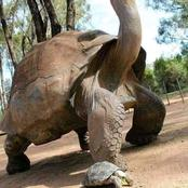 Photos of Jonathan, A 189yr old Tortoise that is the Oldest land animal in the world now