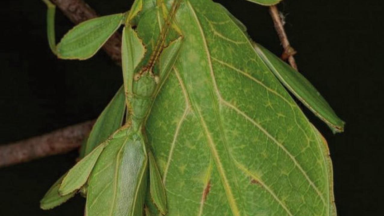 Evolution der Wandelnden Blätter aufgeklärt: Göttinger Forschungsteam erstellt Stammbaum der Blattinsekten