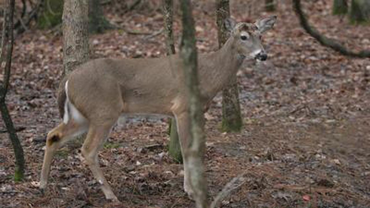 Wolves could hold the key to preventing 'zombie' disease threatening US deer populations