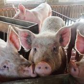 African Swine Fever Has Been Discovered In The Western Cape