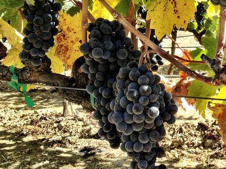 The best way to grow zinfandel grapes