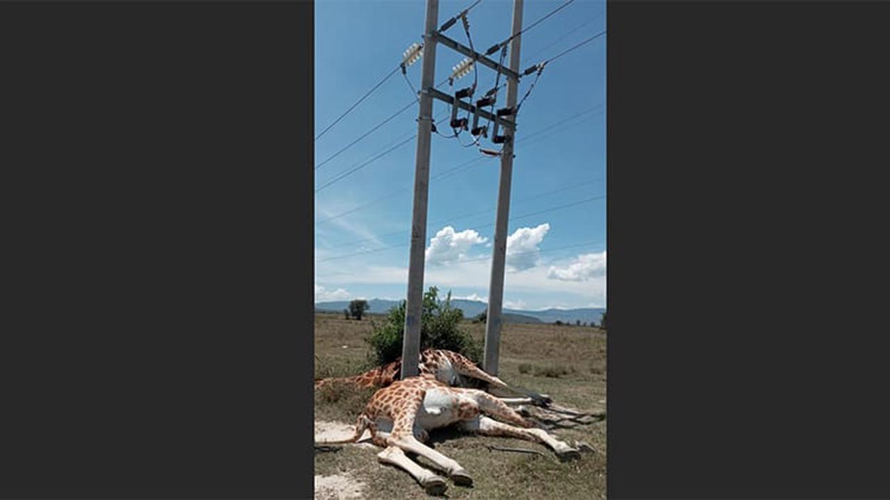 2 giraffes in Kenya park electrocuted by power lines