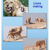 How Female Lions Attract A Mate