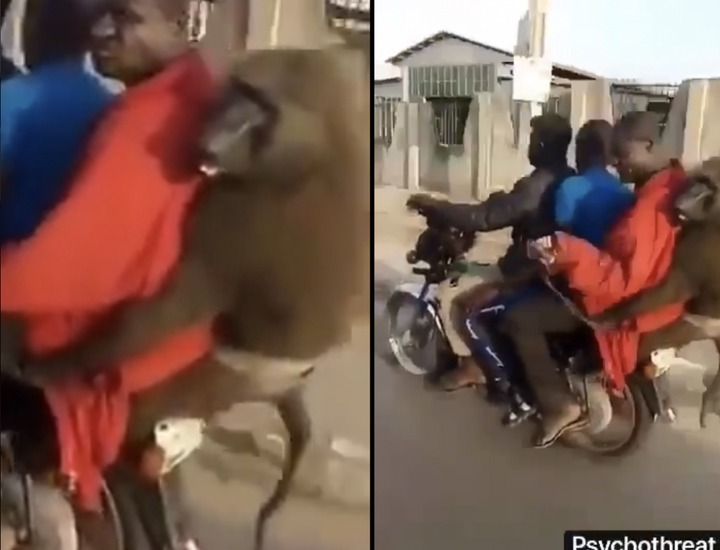 d1513826948ff96e650d416216182fe9?quality=uhq&resize=720 - Wonders shall never end: Monkey Spotted Enjoying A Ride With An Okada Rider And Two Passengers (Video)