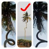 Coconut Tree-Like Snake Spotted At Mumford Causes Confusion On The Internet