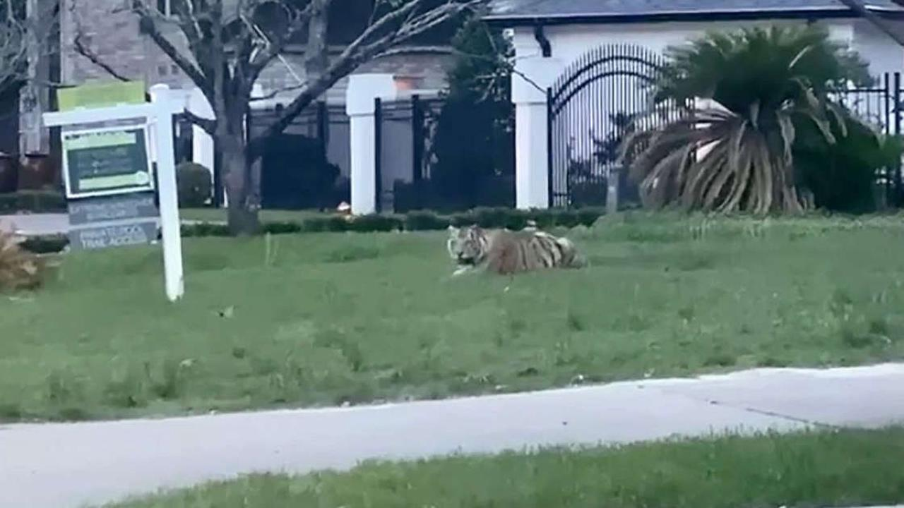 Tiger on loose for nearly a week moved to sanctuary
