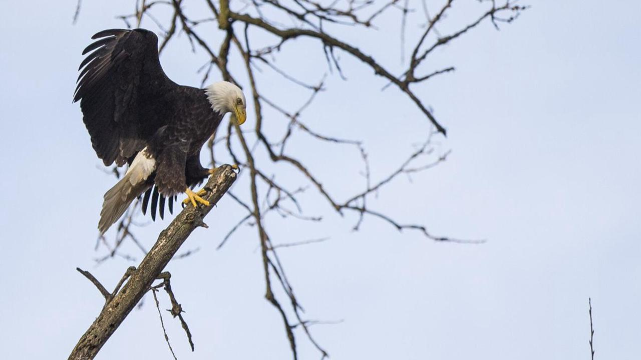 Bald eagles are flying high again after making a comeback in Indiana