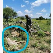 Tragic| Two Lions in Limpopo kill a man at the bush.